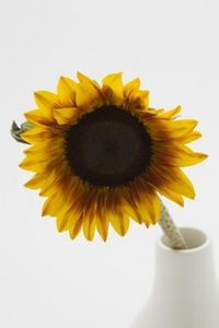 How to Dry Sunflowers & Place Them in a Clear Frame ...