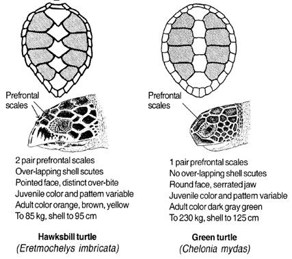 10 Best images about Green and Hawksbill sea turtles on