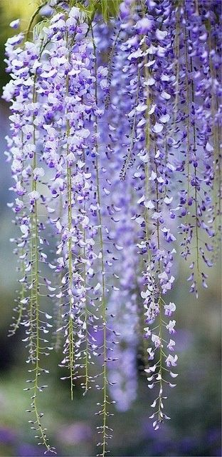 I had a small wisteria in a previous garden it framed the door beautifully. I think I know the perfect spot in this garden for