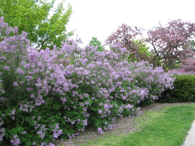 17 Best images about Privacy shrubs on Pinterest  Gardens Sun and Waves after waves