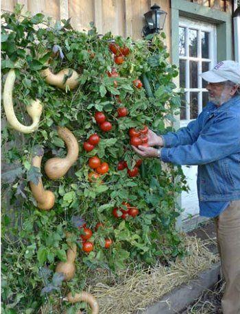 25 Best Ideas About Tomato Trellis On Pinterest Tomato Support