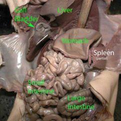 Upper Arm Muscle Diagram Human 1991 Toyota Camry Fuse Box Lower Abdomen   Fetal Pig Pinterest