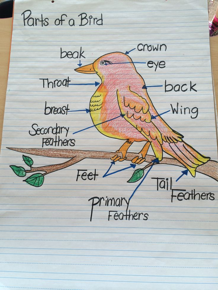 Bird Heart Diagram Bird Reproduction Diagrams
