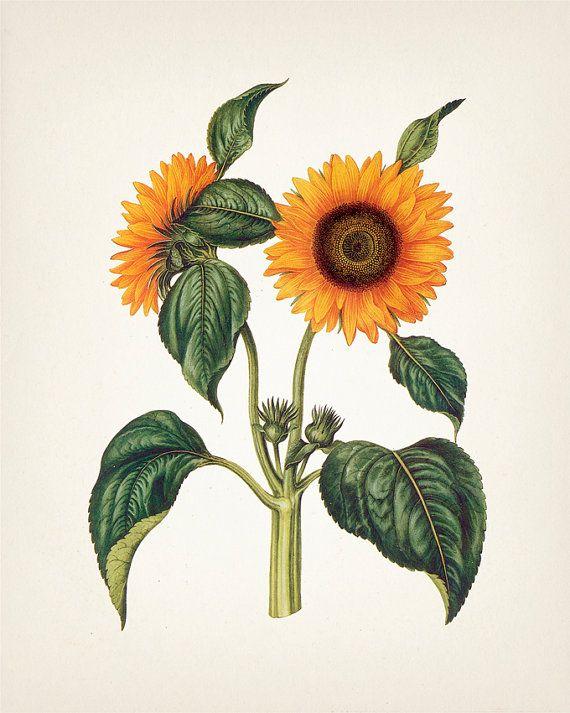 1000 ideas sunflower illustration
