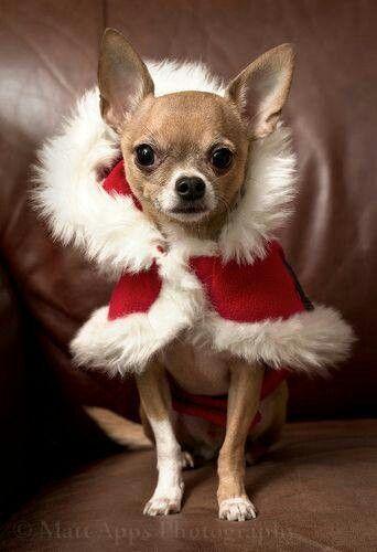 Pretty Chihuahua Love 3 Pinterest Chihuahuas