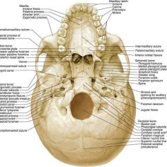 Ethmoid Bone Diagram Wiring Car Starter Motor Anatomy Related Keywords Suggestions Image Search Results Free