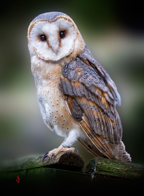 1000 ideas about Barn Owl Tattoos on Pinterest Barn