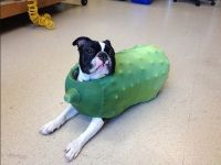 costumes for dogs pickle | Pickle Dog | dog costume ...