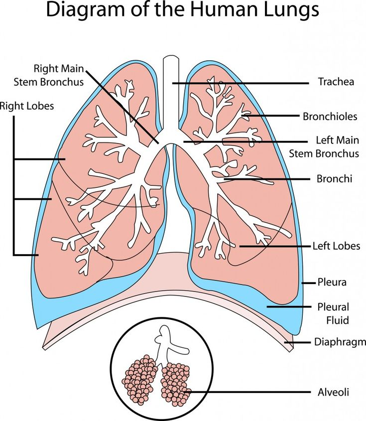 lungs diagram  How do we breathe Lungs and Pleura