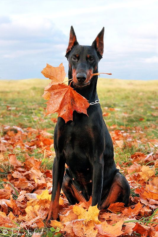 Whimsical Fall Desktop Wallpaper Beautiful Black And Tan Doberman Pinscher With Cropped