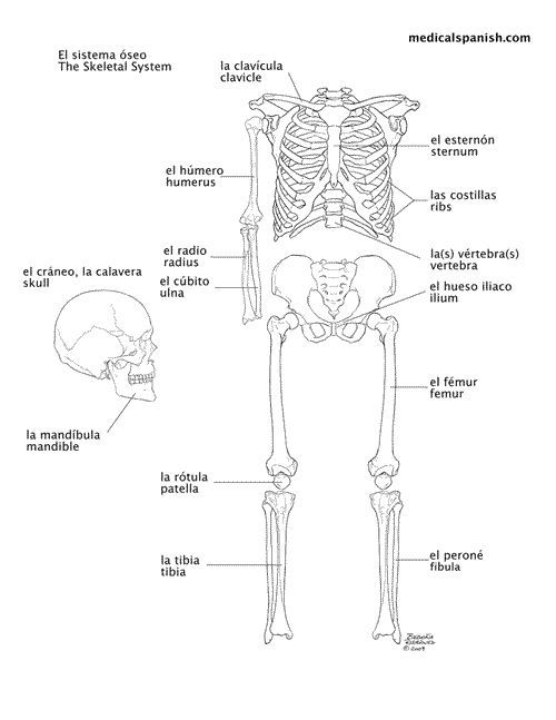 17 Best images about Human Skeleton on Pinterest