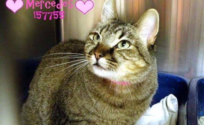 Urgent Casa Grande Az Pinal County Animal Shelter Kitties Need You A157755 Pic 2