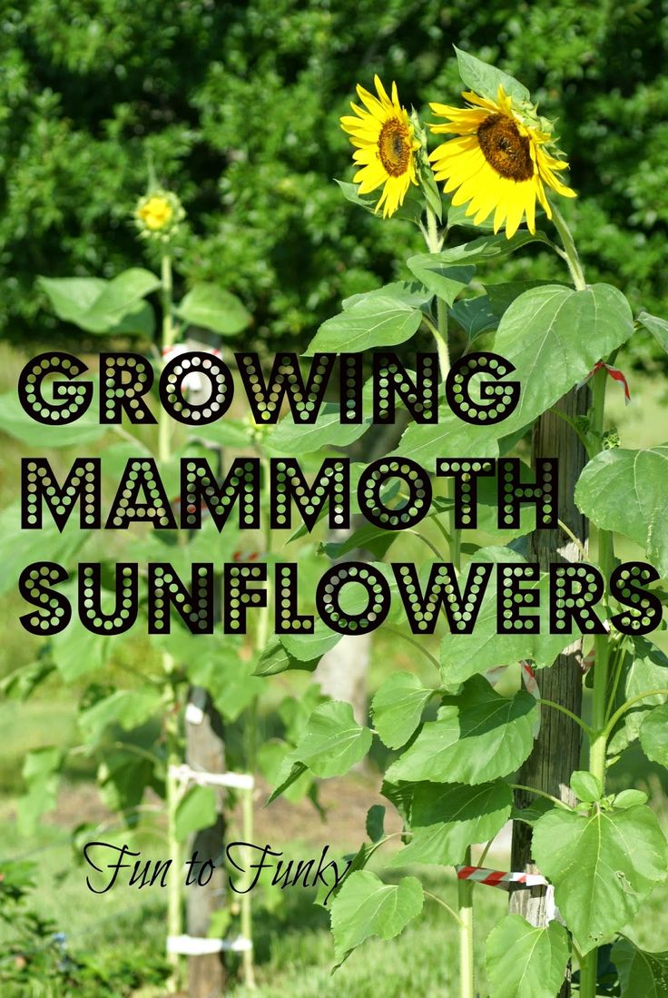25 Best Ideas About Growing Sunflowers On Pinterest Growing