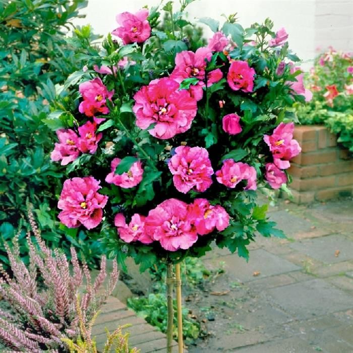 Best 25 Hibiscus Tree Ideas On Pinterest Container