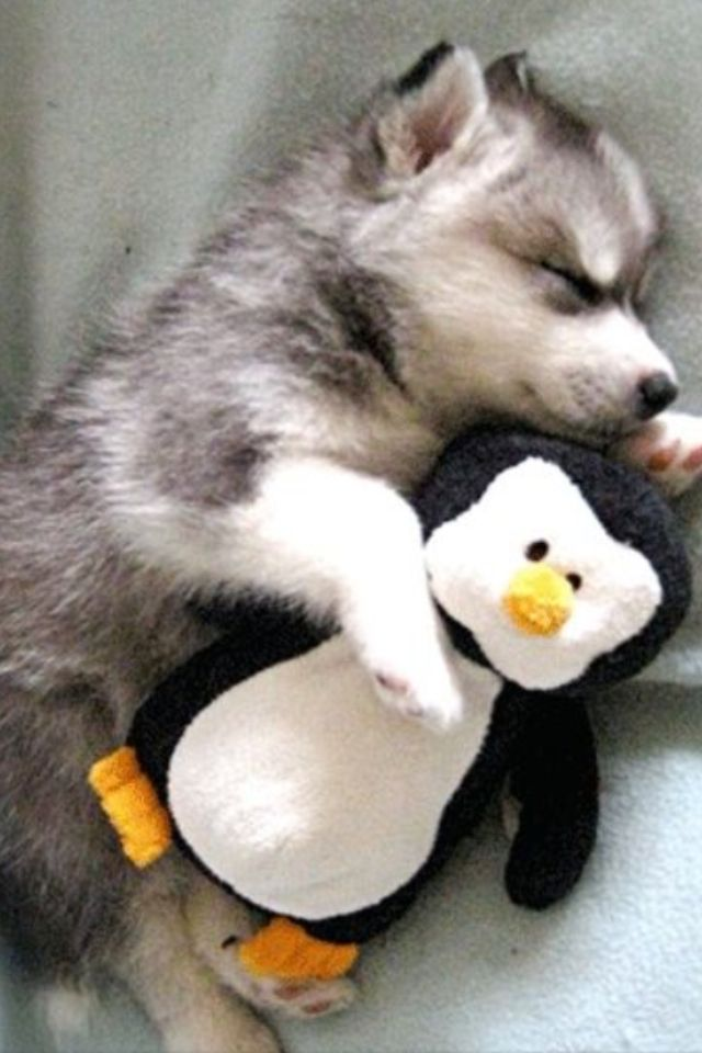 Cute Husky Puppies With Blue Eyes Wallpaper Really Cut Baby Husky And A Very Cute Stuffed Penguin