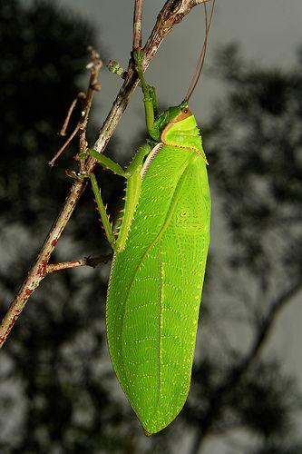 Katydid Insecticide