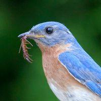 1314 best images about Bluebirds on Pinterest