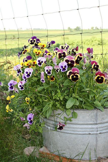 17 Best Images About Fall Pansy Container Ideas On Pinterest