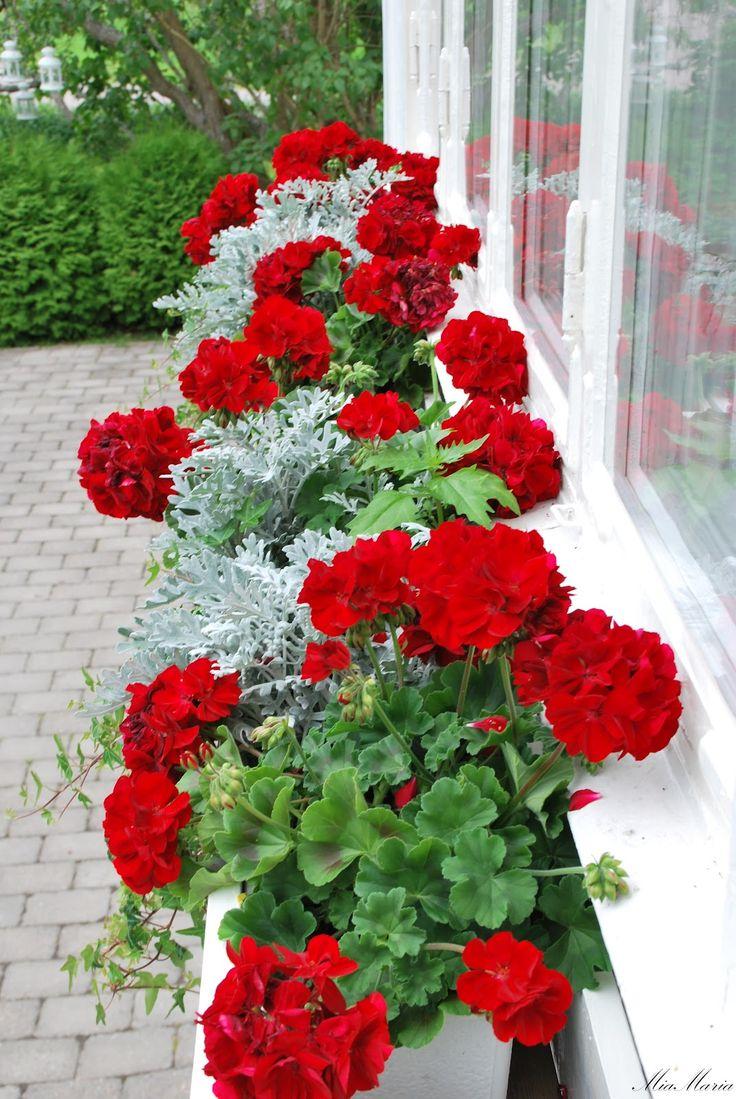 17 Best Ideas About Geraniums On Pinterest Geranium Plant