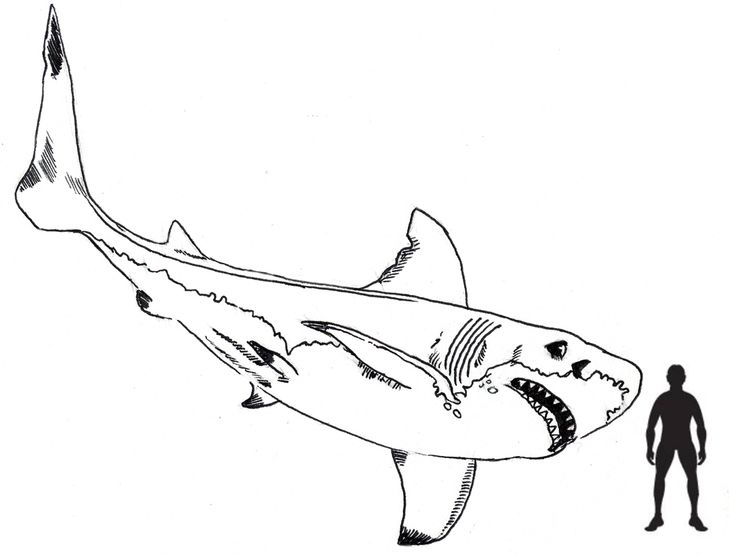 Scale drawing by Everything Dinosaur of a Megalodon