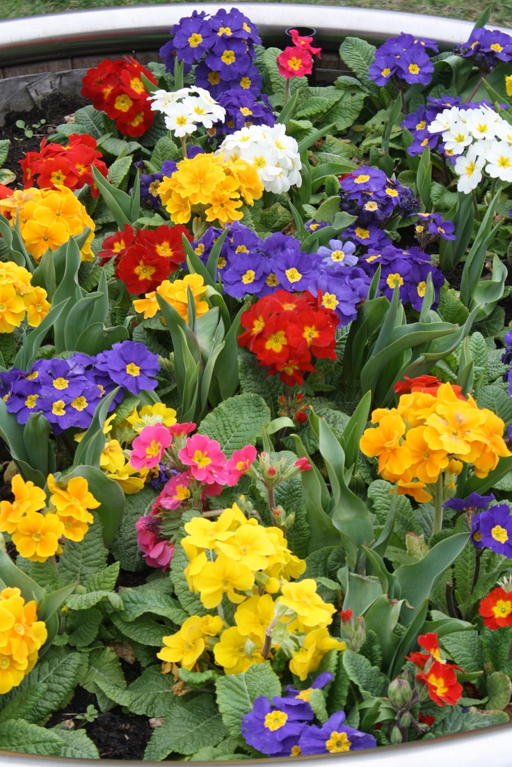 40 Best Images About Flowers Primrose On Pinterest