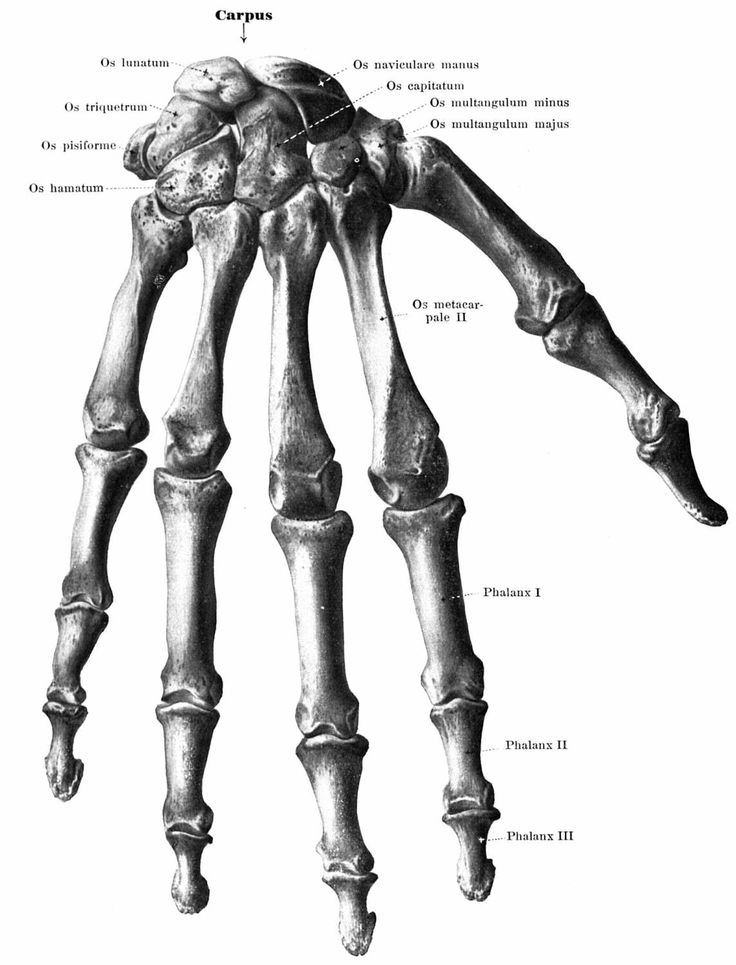 49 best images about anatomical studies on Pinterest