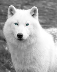 wolf eyes google wolves arctic pretty snow face ice animal artic game gray print dark around things ring