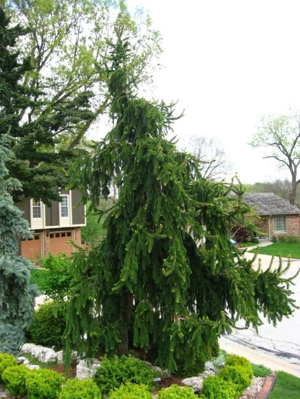 weeping spruce evergreen