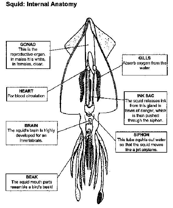 squid internal anatomy labelled :: manandmollusc.net