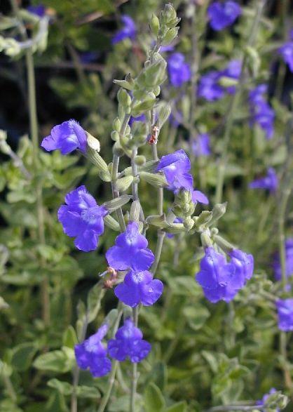 Salvia Microphylla Blue Monrovia Stunning Salvias