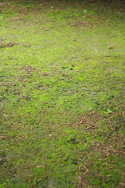 Get Rid Of Moss For Good Simple Lawn And How To Get Rid