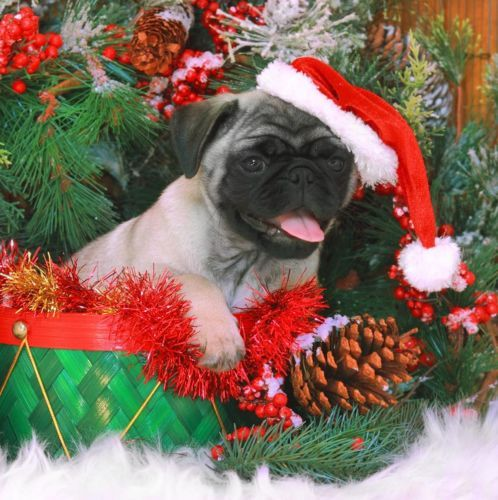 25 Best Images About Dog Christmas Cards On Pinterest
