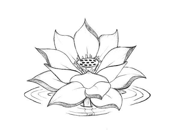 Lotus Flower, : Lotus Flower Blooming on the Water