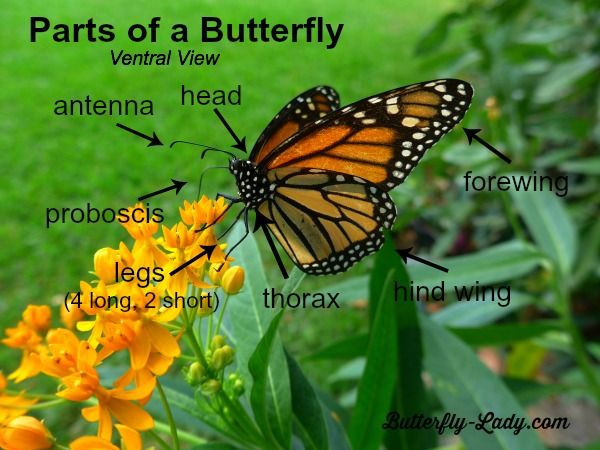 Butterfly Diagram For Kids I Created A Diagram