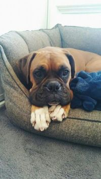 Boxer  | Boxers | Pinterest | Boxers, Dog beds and Beds