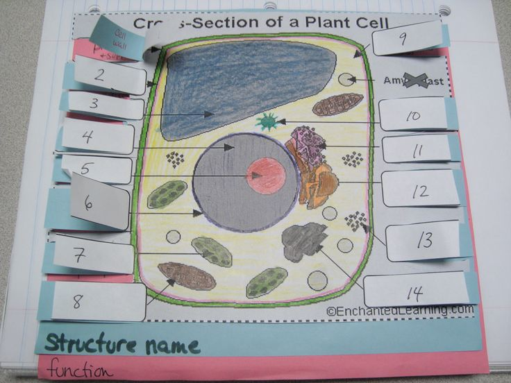 Pics Photos Plant Cell Diagram Labeled For Kids