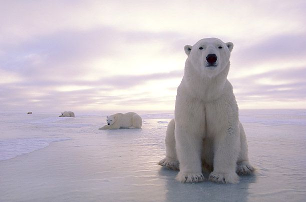 Polar Bear live in the circumpolar Arctic and their numbers remain fewer than 25,000. Human development and poaching have long threatened the polar bear, but climate change and the loss of sea ice are