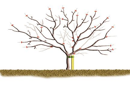 how to prune an apple tree diagram leviton 3 way switch wiring diagrams pruning and pear trees | yarden pinterest trees, pears apples