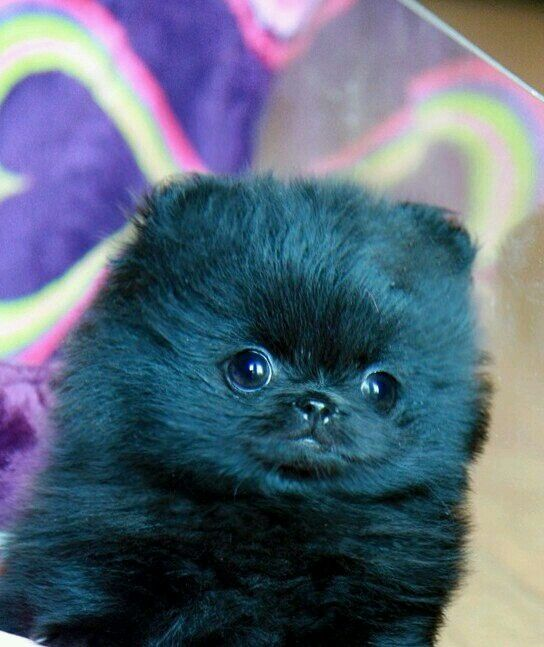 1000 ideas about Teacup Pomeranian Puppy on Pinterest