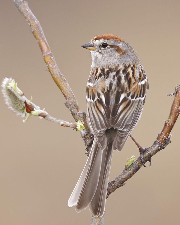American Tree Sparrow  Audubon Field Guide  Birds