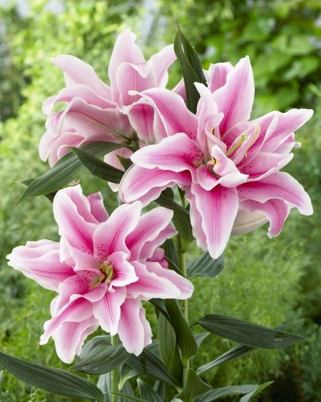 126 Best Images About Flowers  Oriental Lilies On