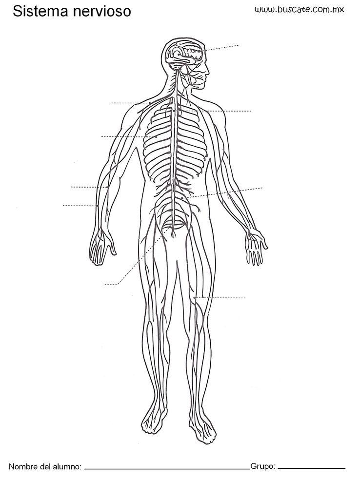 Esquema del sistema nervioso sin los nombres de sus partes