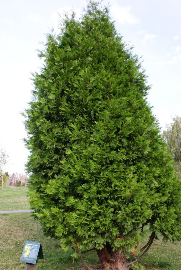 trees evergreens