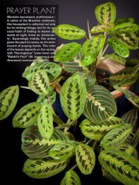 "1000+ images about * * ""PRAYER PLANT"" * * on Pinterest ..."