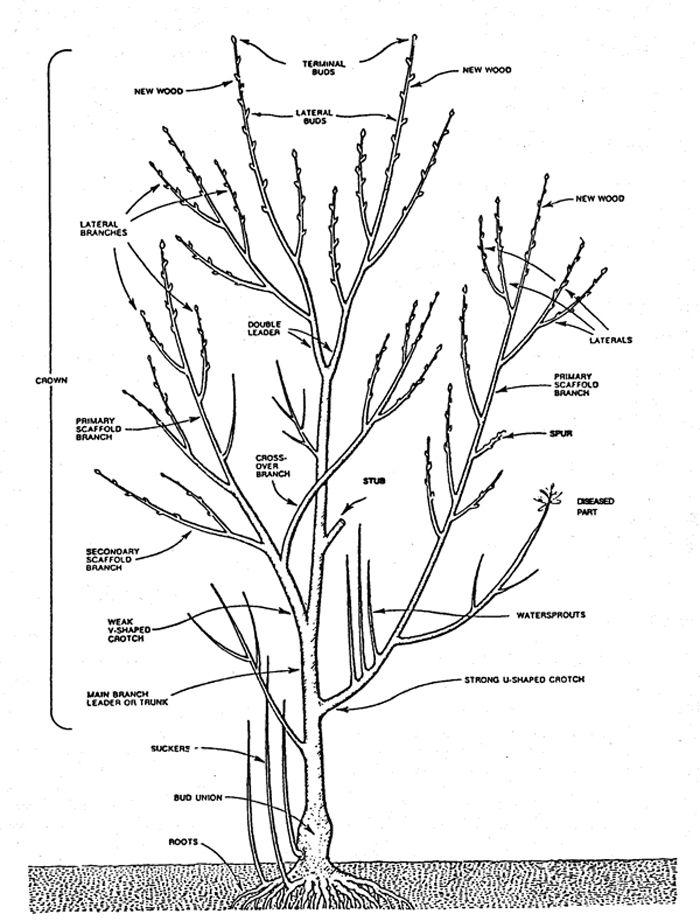 Pruning Apple Trees Diagram