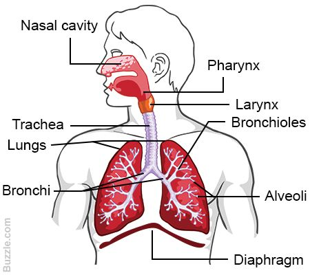 Functions Of The Human Respiratory System You Ll Be