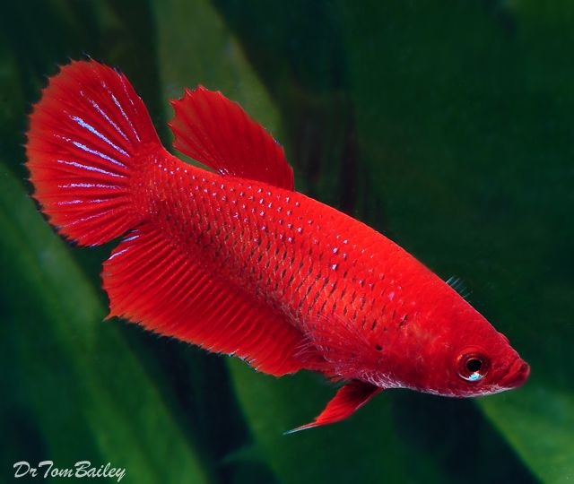 A bright Red Female Betta Fish. To see more click on ...