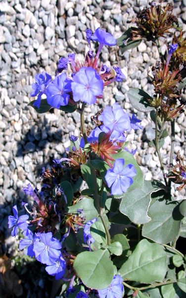 132 best images about West Texas Hardy Plants on Pinterest