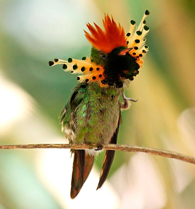 Tufted Coquette ~~ tiny hummingbird which breeds in eastern Venezuela, Trinidad, and northern Brazil.
