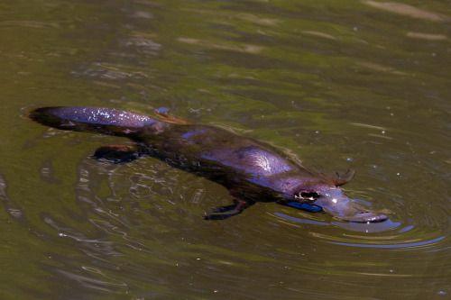 tidbinbilla nature reserve platypus